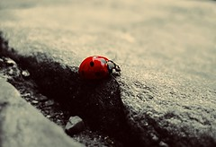 Luck in Red (lallirrr) Tags: red italy black macro beauty up closeup bug insect photography photo rocks italia close stones great picture ground pic ps ladybug dots rosso pesaro marche neri insetto beautifull pu coccinella xbbs lallirr