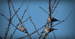 Pigeon (april-mo) Tags: france bird pigeon oiseau nord wildpigeon