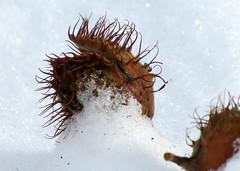 kupacs / cupule (debreczeniemoke) Tags: winter snow fruit forest nut cupula europeanbeech fagussylvatica hó tél erdő cupule bükkfa termés commonbeech kupacs canonpowershotsx20is makktermés módosultvirágzatifellevél vegetativepartoftheflower