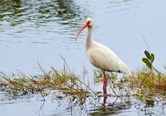 White Ibis (Ruthie Kansas) Tags: