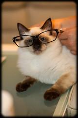 Professor Milo (Craig Jewell Photography) Tags: cat iso3200 glasses kitten milo 85mm australia professor spectacles ragdoll 2014 chocolatepoint f20 ef85mmf18usm 0ev sec canoneos1dmarkiv filename20140221222848x0k0414cr2