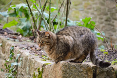 Cat (Jean-Adrien Morandeau) Tags: saint st cat chat michel mont