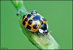 Harmonia axyridis (alfvet) Tags: macro nikon ngc natura npc insetti sigma150 parcodelticino veterinarifotografi d5100