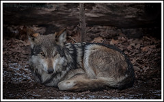 L o n e W o l f (Chris Robinson Photography) Tags: camera cold leaves leaf spring wolf rochester wildanimal deadly ferocious thezoo 2014 rochesternewyork thewild lonewolf atthezoo cityzoo ferociousanimal efmount triptothezoo ef70200mmf4lisusm ferociousanimals canon5dmarkii spring2014
