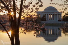 Two Suns (Squirrel Girl cbk) Tags: flowers sunset usa reflection dawn golden dc washington districtofcolumbia unitedstates april cherryblossoms tidalbasin 2014 jeffersonmonument nationalcherryblossomfestival peakbloom