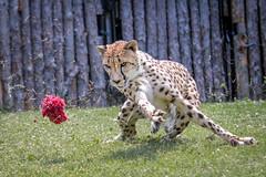 Catch the Fuzzy (Mark Dumont) Tags: animals cat mammal zoo mark cincinnati run cheetah dumont explored