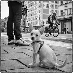 Wag the tail (stejo) Tags: dog pet white fuji stockholm hund cycle streetphoto götgatan xe1 ilobsterit voigtlander24