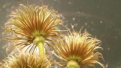 Backlit by sun's reflection ... (Nicki Ki) Tags: light flower sunshine golden back bright antique clematis lightness sunshinef