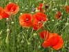 Poppies (Stella VM) Tags: flowers red flower colour green field grass spring sofia dandelion bulgaria poppy poppies пролет трева поляна мак цвят цветя цвете зелен червен глухарче макове