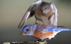 Male Western Bluebird, Sialia mexicana, enjoying a snack as a family member approaches (Pat Durkin OC) Tags: bird westernbluebird sialiamexicana