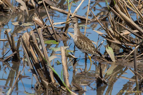 Wood Sandpiper (Tringa glareola), first winter/winter adult