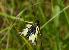 Libellen-Schmetterlingshaft (Libelloides coccajus) , NGID667633874 (naturgucker.de) Tags: libelloidescoccajus caussenoir naturguckerde candreachrisengelhardtbirdingtours saintandrdevzines ngid667633874