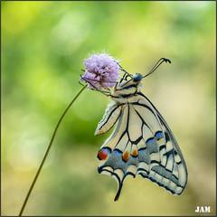 El final de la cuesta (- JAM -) Tags: naturaleza flower macro nature insect nikon flor explore jam mariposas d800 insecto macrofotografia explored lepidopteros juanadradas