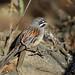 Bridled Sparrow, Teotitl�n del Valle, Oaxaca, Mexico