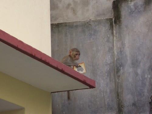 Tu pourrais me rendre ma tartine? Varanasi, Inde
