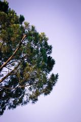Homesick - Stonepine 4 (montselles) Tags: sea rome color colour roma tree nature contrast seaside branch branches homesick lazio homesickness stonepine