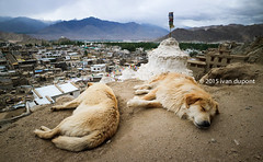 The dogs brothers, Leh, India (monsieur I) Tags: world travel india mountains dogs animal canon landscape leh ladakh monsieuri canoneosm3 ivandupont canonefm1122mmisstm