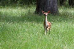 Fawn. (rlbarn) Tags: deer fawn whitetail