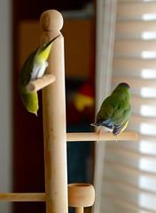 DSC_7840 (Jenny Yang) Tags: pet bird lady finch gouldian