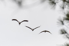 Arjuzanx Grues_4896 (lucbarre) Tags: arjuzanx grue grues migration oiseau oiseaux migrateur migrateurs observatoire bedade