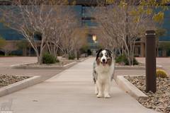 Top Dog (Jasper's Human) Tags: aussie australianshepherd dog