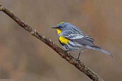 yellow-rumped warbler victoria bc