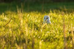Peek-A-Boo (jammo s) Tags: barnowl owl wildowl wildbarnowl tytoalba birdofprey bird wildbird grass winter nature wildlife norfolkbarnowls lightroom canoneos80d canonef400mmf56lusm