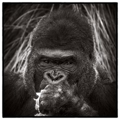 Ajari (Oliver Leveritt) Tags: nikond7100 sigma50500mmf4563apodgoshsm oliverleverittphotography sigmabigmaos bigmaos sigmabigma bigma houstonzoo zoo animal gorilla silverback westernlowlandgorilla monochrome blackandwhite sepia platinum sb800 flash speedlight