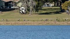 O1K_4846 (68photobug) Tags: 68photobug nikon d7000 sigmadg 150500mm polkcounty centralflorida usa birds outmybackdoor cranes sandhillcranes flight