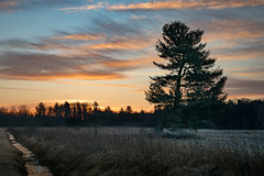 ditch 'n tree (Christian Collins) Tags: canoneos5dmarkiv ditch pine tree winter sunrise michigan midmichigan february field campo weeds amanecer