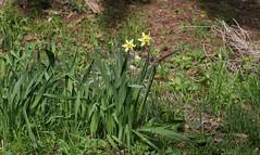 Narcisi di prato (Carla@) Tags: narciso flora nature liguria italia europa mfcc canon explorenaturethewildnature
