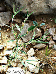 Polygala irregularis (tinlight7) Tags: wildflower milkwort plant jebelhafit alain uae taxonomy:kingdom=plantae plantae taxonomy:clade=tracheophyta tracheophyta taxonomy:phylum=magnoliophyta magnoliophyta taxonomy:class=magnoliopsida magnoliopsida taxonomy:order=fabales fabales taxonomy:family=polygalaceae polygalaceae taxonomy:genus=polygala polygala kreuzblumen milkwortspecies taxonomy:common=kreuzblumen taxonomy:common=milkwortspecies