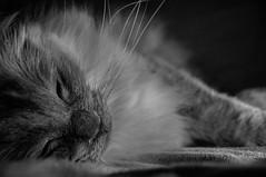 Cäts (@Merssan) Tags: cat blackwhite blackandwhite nose sleeping sleepyhead ragdoll