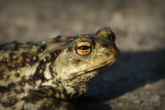On the beaten path... {explored} (Cosper Wosper) Tags: commontoad bufobufo hamwall somerset levels