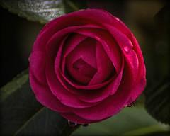 New Growth (Bamagirl7) Tags: 117in2017 camelliabud redflower flowerbud waterdroplets alabama coosacounty