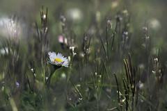 Margherita_doppia esposizione_esperimenti (VinTer59) Tags: margherita fiore sfocato nikon zeiss esterno giorno