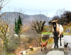 Hello. (mirguzman) Tags: cabra gallina gallo carretera animales curioso colores covadonga