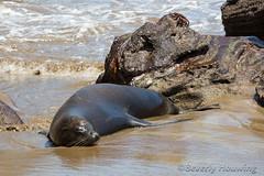 279-Galapagos_Houwing (Beverly Houwing) Tags: beverlyhouwing 2017 squidgallery island galapagos ecuador equator sancristobal puntapitt beach mammal galapagossealion surf waves lavarocks
