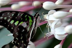 Papillons en Liberté 2017 - Photo 34 (Le Chibouki frustré) Tags: nikon nikond700 d700 700 fx fullframe montréal montreal homa hochelagamaisonneuve macro macrophotographie botanicalgarden jardinbotanique jardinbotaniquedemontréal montrealbotanicalgarden butterfly insect insects bokeh dof pdc papillonsenliberté2017 butterfliesgofree2017 closeuplens closeupfilter
