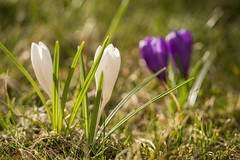 It was one of those March days when the sun shines hot and the wind blows cold: when it is summer in the light, and winter in the shade. (~Ranveig Marie~) Tags: crocus corci crocuses krokus vår spring mars march garden