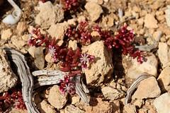 Azure Stonecrop (Sedum caeruleum) - Crassulaceae - Foresta 2000, Malta (Malta) (2)