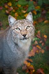Lynx portrait (Cloudtail the Snow Leopard) Tags: luchs lynx katze cat feline animal tier säugetier mammal beutegreifer predator wildpark pforzheim