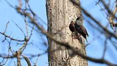 Looking for home (_Nick Photography_) Tags: img1357 nido albero cavità storno parcodelticino sturnusvulgaris bosco passeggiata birdwatching bird canoneos760d