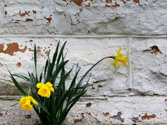 1 is Three (Robert Cowlishaw-Mertonian) Tags: three yellow green daffodils wall light cracked mertonian canon powershot g1x mark ii canonpowershotg1xmarkii robertcowlishaw bricks white layers nature sundaywalk texture spring decorative blossoms flowers