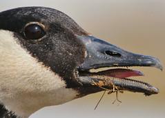 Eye to Eye! (CdnAvSpotter) Tags: canada goose closeup eye wildlife bird nature ottawa river mud lake thatlittletoungue explore ontario