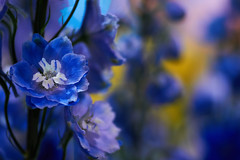 (Light Echoes) Tags: sony a6000 2017 macro tamron90mm winter march philadelphia philadelphiaflowershow philadelphiainternationalflowershow flower delphinium blue mondayblues