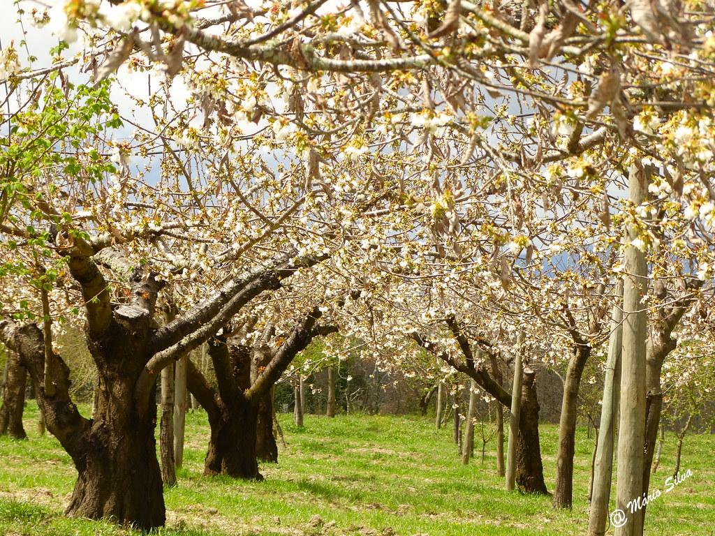 Águas Frias (Chaves) - ...cerdeiras (cerejeiras) em flor