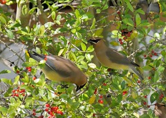 Cedar Waxwings (Corgibird) Tags: cedarwaxwing birds backyardbirds berries yaponholly holly red green finch housefinch trees sunnyday flock flockofbirds yellow color warmcolors