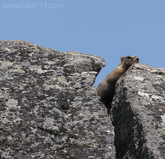 "Yellow-bellied Marmot • <a style=""font-size:0.8em;"" href=""http://www.flickr.com/photos/63501323@N07/33708651075/"" target=""_blank"">View on Flickr</a>"