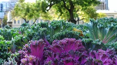 Ornamental Cabbage (Theen ...) Tags: pink macro green leaves square purple bokeh samsung victoria cabbage adelaide mass ornamental planting frilly theen